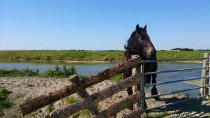 cheval du marais